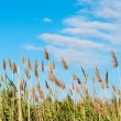 Seedy reed stalks - Stock Photo