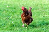 Grass cock — Stock Photo