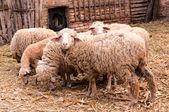 Relógio de ovelhas — Fotografia Stock