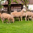 Group of sheeps — Stock Photo