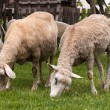 Sheep at farm — Stock Photo