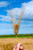 Single wheat — Stock Photo