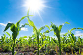 Corn and sun — Stock Photo