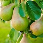Pear tree — Stock Photo #27231847