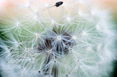 Macro dandelion — Stock Photo