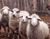 Dirty sheeps — Stock Photo
