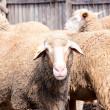 Angry sheep — Stock Photo