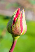 Rose bud — Stock fotografie