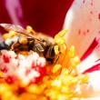 Bee in flower — Stock Photo #34499709