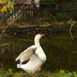 Locked goose — Stock Photo