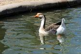 Pato de natación — Foto de Stock