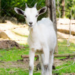 Little goat — Stock Photo #47779919