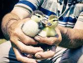 Little ducks in man hands — Stock Photo