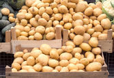 Large group of raw potatoes — Stock Photo