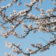 Fruit Tree Blossoms — Stock Photo