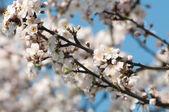 Ovocných stromů květy — Stock fotografie