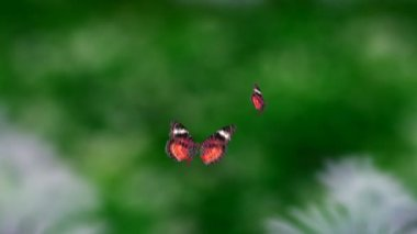 Red Butterfly flying — Stock Video