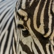Royalty-Free Stock Photo: Zoo zebra