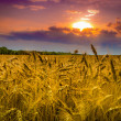 Wheat field against dramatic sky — Lizenzfreies Foto