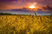 Wheat field against dramatic sky — Stock Photo