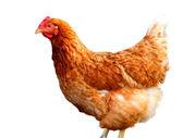 Chicken. isolated . — Zdjęcie stockowe