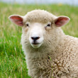 Stock Photo: Lamb............