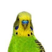 Parakeet — Φωτογραφία Αρχείου