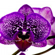Orchid flower — Stock Photo #17415011