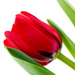 Tulip flower isolated on white background — Stock Photo #19332527