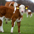 Stock Photo: calf