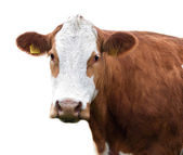 Cow isolated on white background!!! — Stock Photo