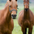 Foto de Stock  : Horses in field