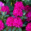 Flowering pink rhododendron near the country house — Stock Photo