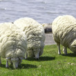 Woolly Sheep — Stock Photo