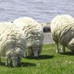 Woolly Sheep — Stock Photo