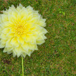 Stock Photo: Large headed yellow flower on lawnAC