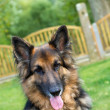 Stock Photo: GermShepherd laying in garden