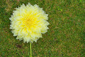 A large headed yellow flower on the lawnAC — Stock Photo