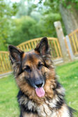 German Shepherd laying in the garden — Stock Photo