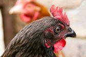 A bluebell pet chicken inside her garden run — Stock Photo