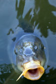 Open mouthed fish looking straight at viewer — Stock Photo