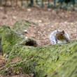Cheeky squirrel peeking over a tree root — Stockfoto