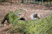 Bezczelny wiewiórka zerkające przez głównego drzewa — Zdjęcie stockowe
