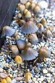 Small mushrooms growing amongst the gravel — Stock Photo