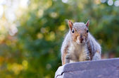 Cute squirrel on a park bench — Stock Photo