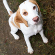 Beagle in a field looking up — Stockfoto
