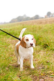 Beagle being walked on a lead in the field — Stock Photo