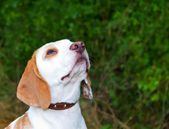 Beagle in a field looking up — Stock Photo