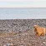 Norfolk terrier on the beach — Stock Photo #14737673