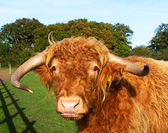 Highland cow in a green grass field — Stock Photo